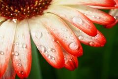 Gerbera sbocciante del fiore con le gocce di acqua fotografia stock libera da diritti