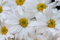 Gerbera seamless pattern floral background Stock Photos