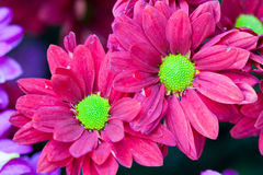 Gerbera seamless pattern floral background Royalty Free Stock Images