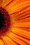 The Gerbera Series. Closeup view of an orange gerbera with with droplets on it Royalty Free Stock Image