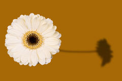 Gerbera shadow. A cream gerbera and its shadow Stock Images