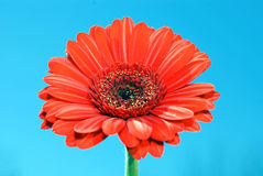 Gerbera sky Stock Photo