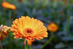 Gerbera in spring close up photo royalty free stock images