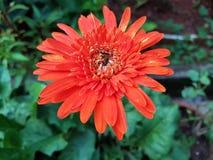 Gerbera stokrotki kwiat Obrazy Royalty Free
