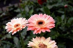 Gerbera stokrotki kwiat Zdjęcie Stock