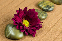 Gerbera with stones. Red gergera with dark stones on brown background Stock Photos