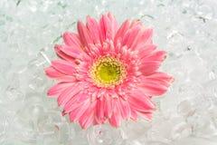 Gerbera sur la glace Image stock