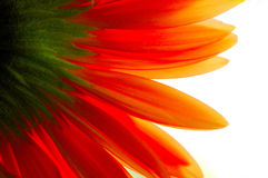 Gerbera transparent Images stock