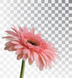 Gerbera on a transparent background. Realistic spring flower. Vector object Stock Illustration