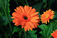 Gerbera, Transvaal daisy or Barberton daisy Royalty Free Stock Photo