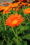 Gerbera, Transvaal daisy or Barberton daisy Stock Photos