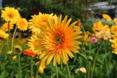 Gerbera, Transvaal daisy or Barberton daisy Royalty Free Stock Image