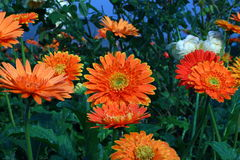 Gerbera, Transvaal daisy or Barberton daisy Stock Photography