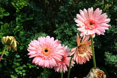 Gerbera, Transvaal daisy or Barberton daisy Stock Photo