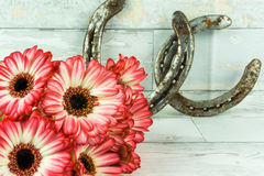 Gerbera in two colors with horseshoe stock images