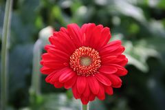 Gerbera type Brunello in a greenhouse in nieuwerkerk aan den ijs. Gerbera type Blind Date in a greenhouse in nieuwerkerk aan den ijssel in the Netherlands Royalty Free Stock Photo