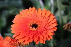 Gerbera type Candela in a greenhouse in nieuwerkerk aan den ijssel in the Netherlands.  royalty free stock photography