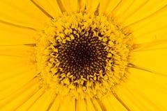 Gerbera um fim amarelo brilhante da flor acima Foto de Stock Royalty Free