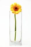 Gerbera in un vaso con acqua Fotografia Stock Libera da Diritti