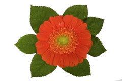Gerbera, valentijnskaarten, bloem Royalty-vrije Stock Afbeelding