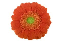 Gerbera, valentines, flower Royalty Free Stock Photography