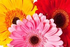 Gerbera van bloemen Royalty-vrije Stock Afbeelding