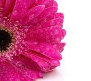 Gerbera van de bloem Royalty-vrije Stock Afbeeldingen