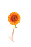Gerbera in vase Royalty Free Stock Image