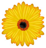 Gerbera vector Royalty Free Stock Photography