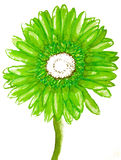 Gerbera verde no branco Foto de Stock