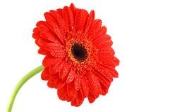 Gerbera vermelho Fotografia de Stock