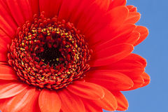 Gerbera vermelho Imagem de Stock Royalty Free