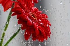 Gerbera vermelho Foto de Stock