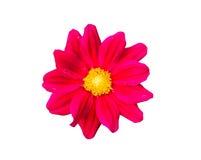 Gerbera vermelho Foto de Stock Royalty Free