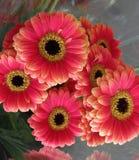 Gerbera vermelho atrativo brilhante bonito Daisy Flowers Bouquet foto de stock royalty free