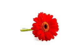 Gerbera vermelho bonito Foto de Stock Royalty Free
