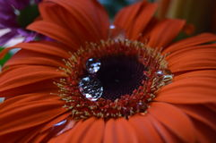 Gerbera vermelho bonito com pingos de chuva fotos de stock royalty free