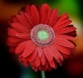 Gerbera vermelho bonito no fundo multicolorido Imagens de Stock