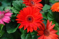 Gerbera vermelho Daisy Flower de Transvaal Fotos de Stock Royalty Free