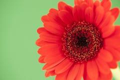 Gerbera vermelho em um pálido - fundo verde Fotos de Stock
