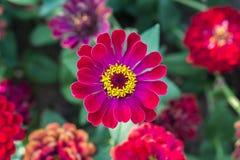Gerbera vermelho Flores bonitas românticas Fotografia de Stock Royalty Free