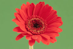 Gerbera vermelho isolado em um fundo verde de contraste Fotos de Stock Royalty Free