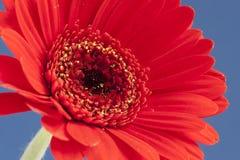 Gerbera vermelho no azul Foto de Stock Royalty Free