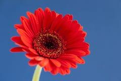 Gerbera vermelho no fundo azul brilhante Fotografia de Stock