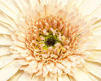 Gerbera is very popular and beautiful deep focus. Stock Images