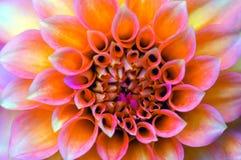 Gerbera vibrant Photo libre de droits