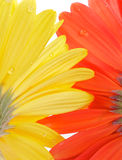 Gerbera view from under. Yellow and red Gerbera with water droplets view from under close up Royalty Free Stock Photo