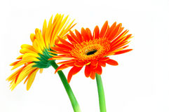 Gerbera Wallpaper Stock Image