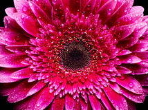 Gerbera with water drops Royalty Free Stock Photo