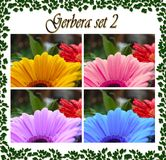 Gerbera photo set with water drops, in 4 colors. royalty free stock images